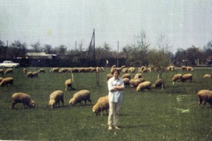 w:sheep in Germany'67