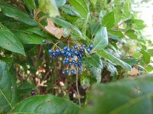 Iridescent berries...