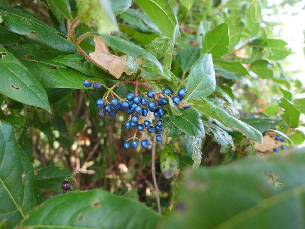 Iridescent berries…