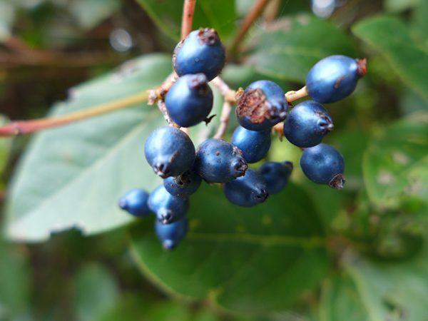 Iridescent close up berries!
